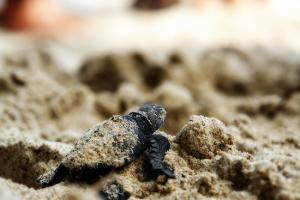 How to witness the birth of turtles without hurting them?