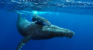 Huge whales and their offspring wander every year through the waters of Punta Leona